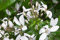 Cleome Senorita Blanco in flower, annual plant