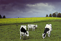 Three Holstein dairy cows standing in field of blooming wild mustard with storm clouds approaching