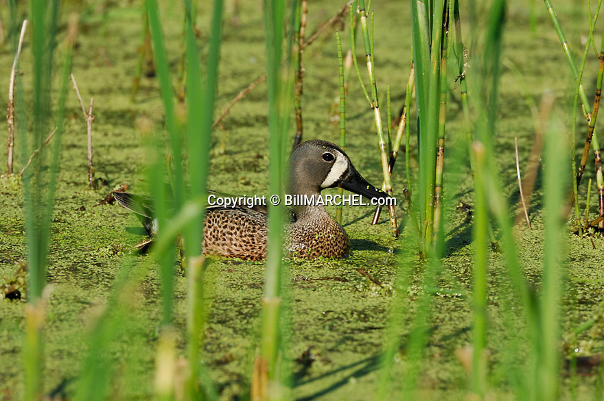 00315-059.10 Blue-winged Teal Duck (DIGITAL) male is on a marsh containing duck weed and cattails.  Hunt, waterfowl, wetlands.  H4R1