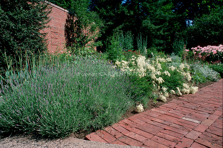 Fragrance garden plants Lavandula angustifolia English lavender herb in flower next to brick path walkway,  herb garden landscaping, with paeonia peonies Pink Tranquility in rear, brick wall, shrubs, evergreen trees, garden beds