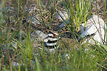 Killdeer (Charadrius vociferus) on nest