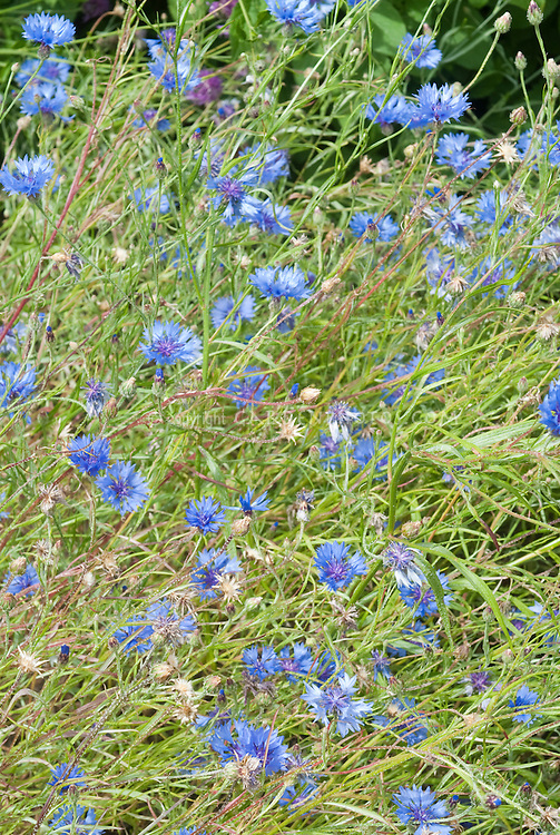 Blue flowers of Centaurea cyanus, Bachelor Buttons