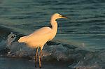 Snowy Egret at Sunrise Wave Break Sanibel Island Florida