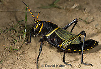 0913-0815  Adult Horse Lubber Grasshopper - Taeniopoda eques © David Kuhn/Dwight Kuhn Photography.