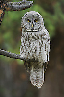 Great Grey Owl (Strix nebulosa), adult in tree, Yellowstone National Park, Wyoming, USA