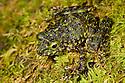 Gephyromantis / Mantidactylus webbi camouflaged against moss. Masoala Peninsula National Park, north east Madagascar. IUCN endangered species