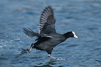 Eurasian Coot (Fulica atra), adult running on water, Switzerland
