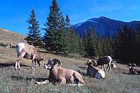 Rocky Mountain Bighorn Sheep Rams (Ovis canadensis) resting in Meadow, Jasper National Park, Canadian Rockies, AB, Alberta, Canada