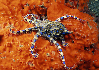 outhern Blue Ring Octopus [Hapalochlaena maculosa] is the most venomous of all octopus and has a life span of about 1 1/2 years. South Australia.