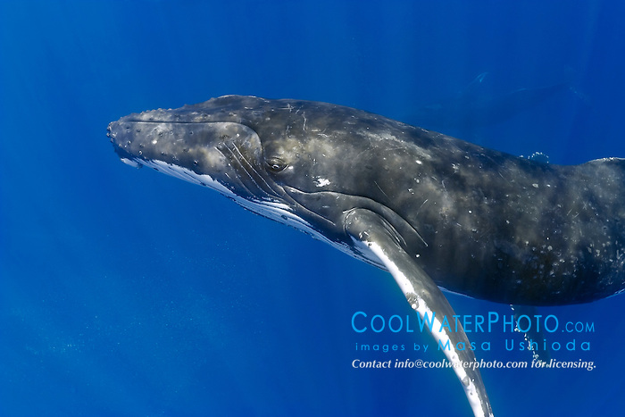 humpback whales, Megaptera novaeangliae, in competitive group - males blowing bubbles aggressively during pursuit of a female, Hawaii, USA, Pacific Ocean