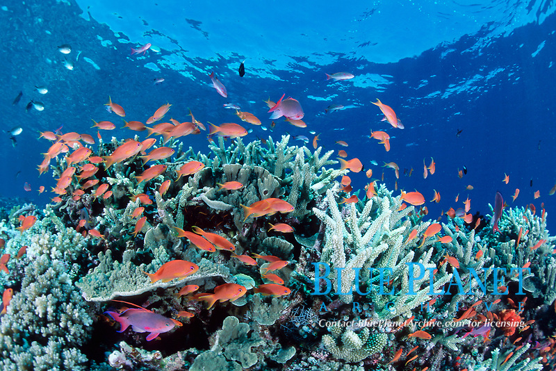 underwater seascape, soft coral, Dendronephthya sp., and basslets, Pseudanthias squamipinnis, Fiji (S.Pacific Ocean)