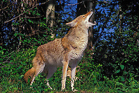 COYOTE howling..Summer. Rocky Mountains..(Canis latrans).