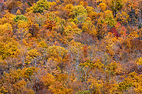 Forest trees in peak autumn color.
