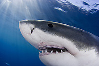 This Great White Shark, Carcharodon carcharias, was photographed just below the surface off Guadalupe Island, Mexico, Pacific Ocean