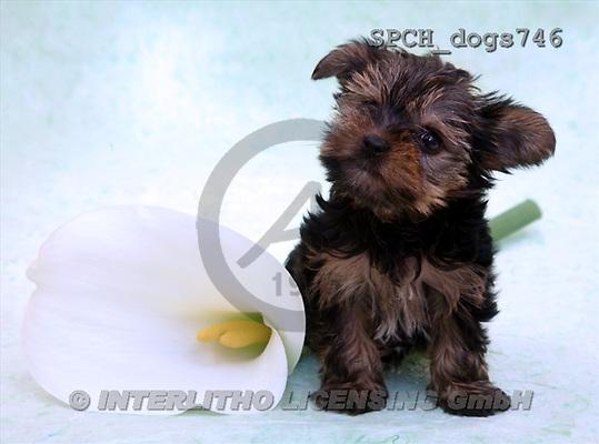 Xavier, ANIMALS, dogs, photos(SPCHdogs746,#A#) Hunde, perros