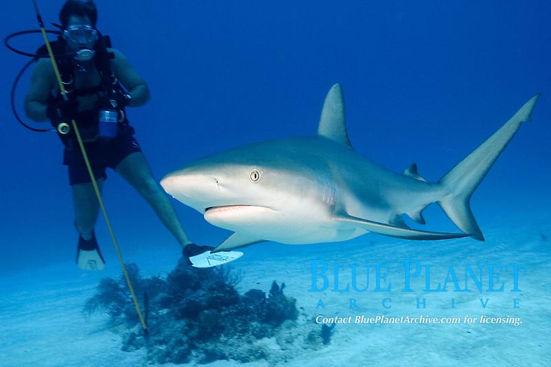 Caribbean reef shark, Carcharhinus perezii, and scuba diver with spear, Bahamas, Caribbean Sea, Atlantic Ocean