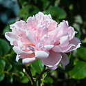 Rosa 'Albertine', late June. A rambling rose with fragrant, fully double, light salmon-pink flowers in June and July.