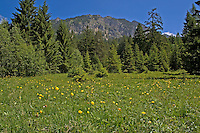Alpen-Wiese, Alpenwiese, Blumenwiese, Bergwiese mit Trollblume, Trollius europaeus, bei Grän, Tirol, Österreich, Alpen. Alps, European Globeflower, Globe Flower