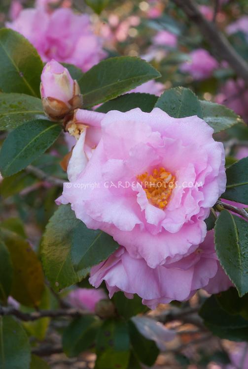 Camellia sasanqua 'Our Linda' in autumn flower