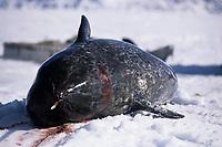 Narwhal carcass 3 (Indigenous hunting), Monodon monoceros, Baffin Island, Canada, Arctic Ocean