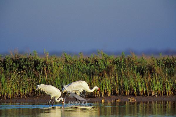 Whooping Cranes (Grus americana) feeding along edge of Intracoastal Waterway, Texas.  Aransas National Wildlife Refuge.  March.