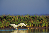 Whooping Cranes (Grus americana) feeding along edge of Intracoastal Waterway, Texas.  Aransas National Wildlife Refuge.  March.