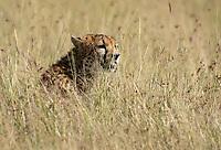 A Cheetah, Acinonyx jubatus jubatus, stands in tall grass in Maasai Mara National Reserve, Kenya