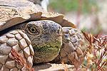 328 Joshua Tree Desert Tortoises - CA