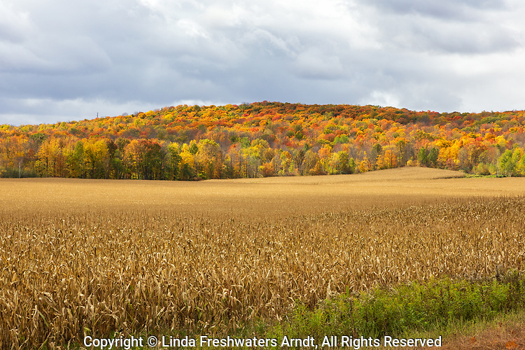 Standing corn and fall colors in northern Wisconsin.