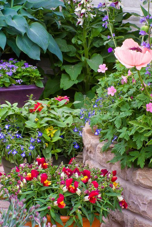Antirrhinum snapdragons, Lobelia, zinnias, ageratum, annual flowers plants with perennials poppies Papaver, hosta, geranium, digitalis planted together in pots and raised bed made of stone