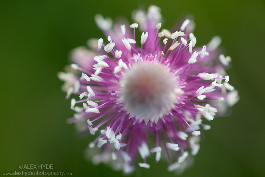 Hoary Plantain flower spike {Plantago media} Nordtirol, Austrian Alps. June.