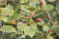 Fjellbirke, Fjell-Birke, Fjällbirke, Fjäll-Birke, Moor-Birke, Moorbirke, Haar-Birke, Besen-Birke, Behaarte Birke, Betula pubescens ssp. tortuosa, Betula pubescens ssp. czerepanovii, Betula pubescens, Betula czerepanovii, Betula alba, Betula pubescens var. pumila, arctic downy birch, mountain birch, downy birch, moor birch, white birch, downy-birch, moor-birch, white-birch, European white birch, hairy birch, Le Bouleau pubescent, Island, Iceland