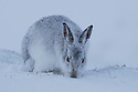 Mountain Hare (Lepus timidus) digging in snow for vegetaion to eat, Cairngorms National Park, Scotland. January.