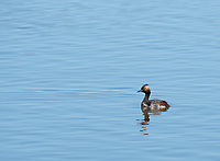 Eared Grebe, Podiceps nigricollis, adult in breeding plumage, swims on Lake Ewauna, Oregon