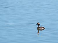 Eared Grebe, Podiceps nigricollis, adult in breeding plumage, swims on Lake Ewauna, Oregon