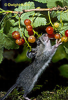 MU50-048z   Deer Mouse - young adult eating berries - Peromyscus maniculatus