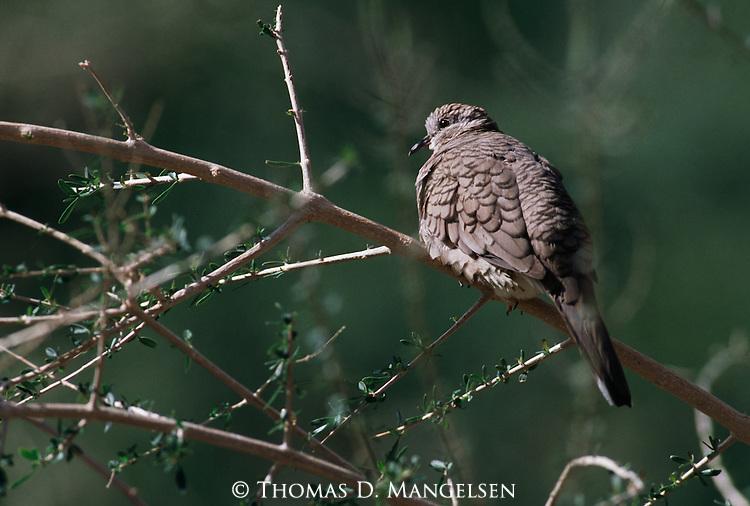 Inca Dove perched in a tree.