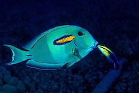 An Hawaiian Cleaner Wrasse(Labroides phthirophagus)welcomes a Orange-band surgeonfish into it's cleaning station to remove parasites. The Hawaiian Cleaner Wrasse is found only on Hawaii's coral reefs.