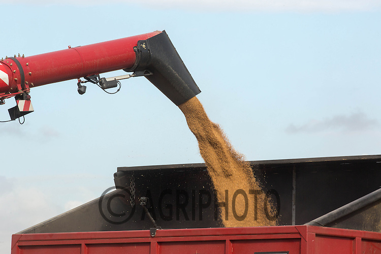 Case 9230 unloading wheat to a chaser bin at Belvoir Fruit Farms,Belvoir,Grantham,Lincolnshire<br /> Picture Tim Scrivener 07850 303986