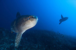 Mola Molas being cleaned by Longfin Bannerfish, Heniochus acuminatus, Crystal Bay, Nusa Penida, Nusa Lembongan, Bali, Indonesia, Pacific Ocean