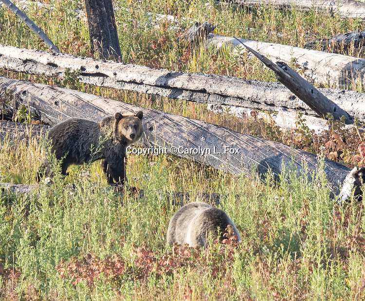 Rascal is the cub of the poplular Yellowstone bear called Raspberry (Lake Butte Sow).