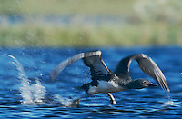 Red-throated Loon, Gavia stellata, adult taking off, Kongsfjord, Norway, Europe