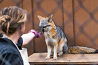 Encouraged by the reward of 'treats' a fox learns to 'sit' at the Sulpur Creek Nature Center in Hayward, California.