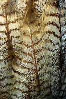Oehoe (Bubo bubo), close-up borstveren