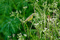 Yellow fronted canary (Serinus mozambicus) Introduced from South America.  Found only on Oahu and the Big Island