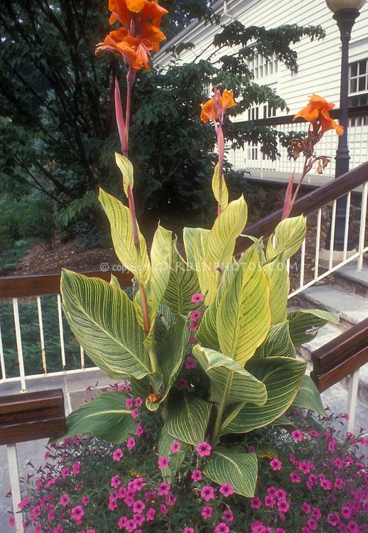 Canna x generalis 'Striata' aka 'Praetoria' aka 'Bengal Tiger' with Petunia integrifolia in container garden on steps of house