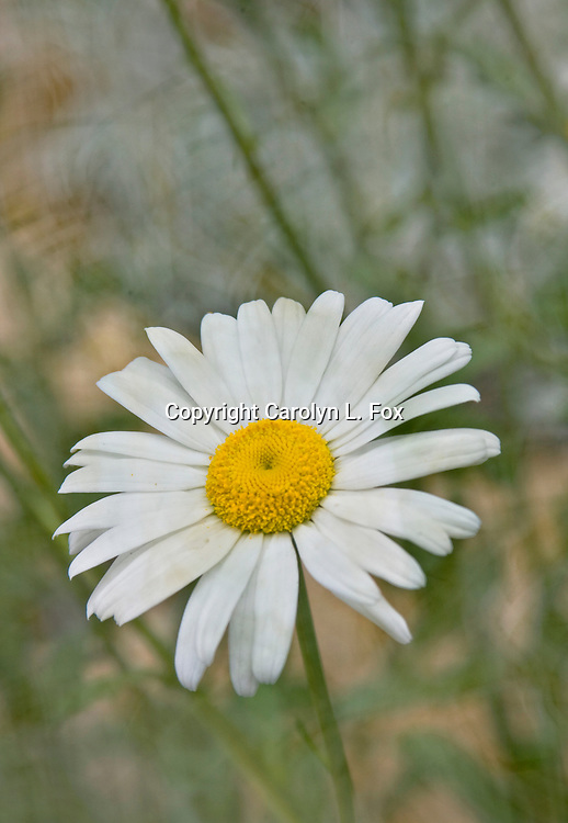 A white daisy stands in front of a muted background