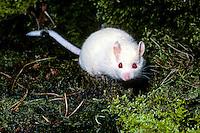 Eikelmuis (Elyomis quercinus) albino