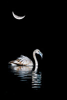 greater flamingo (Phoenicopterus roseus) with moon in background, Spain