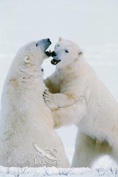 Polar bears (Ursus maritimus) wrestling.